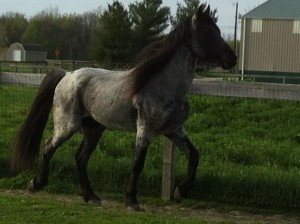 Blue Roan Stud - the best in the industry!
