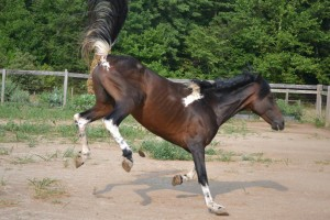 Major is showing off for the farm ladies.  He likes the mares! However, he is always a gentleman.
